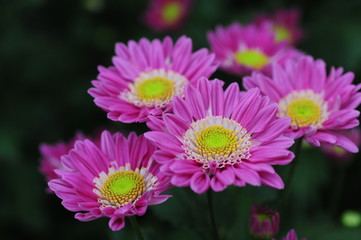 The beautiful chrysanthemums are in full bloom