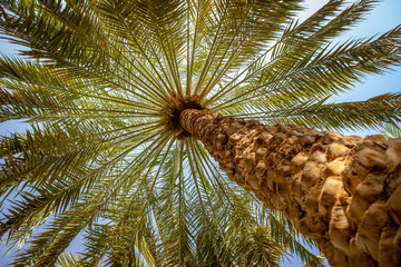 Papiers peints Palmier Palm trees canopy in Al Ain oasis, United Arab Emirates