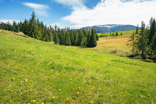 early springtime countryside in mountains. pine trees on a grassy meadow. beautiful carpathian landscape on a sunny day. hills with snowy tops in the distance