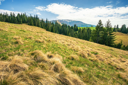 early springtime countryside in mountains. pine forest on a meadow. pasture with weathered grass. hills with snowy tops in the distance. wonderful landscape on an overcast day