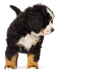 little bernese mountain dog puppy