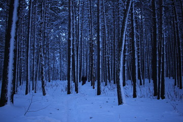 Winter pine forest in blue.