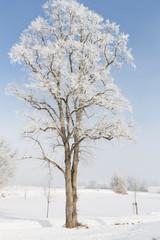Einzelner Baum im Nebel mit Raureif bedeckt