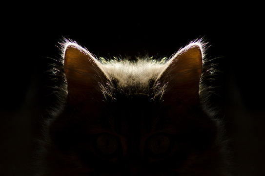 cat ears,cat in the dark