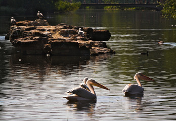 white pelicans - I - St James Park - London