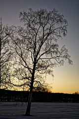 Silhouette of a birch at sunset