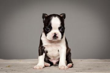 cute puppy dog boston terrier