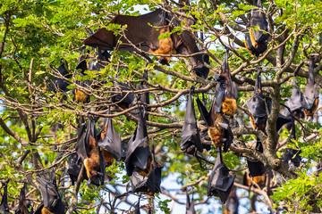 Fruit bat trees (Flying fox). Tissamaharama, Sri Lanka.