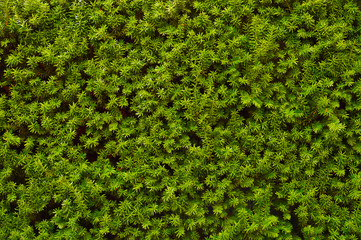 Hedge. An image of a very decorative wall consisting of thousands of green yew branches.