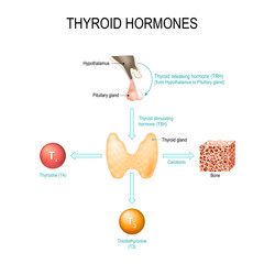 thyroid hormones. Human endocrine system.