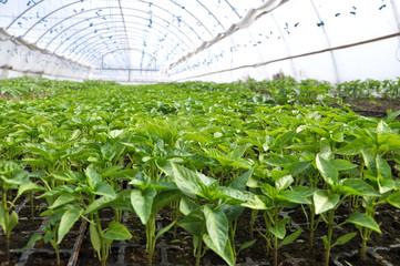 Fototapeta Growing sweet pepper seedlings in a greenhouse made of polycarbonate obraz