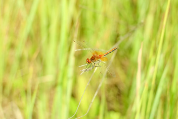 Close-up of a dragonfly sitting on the grass on a blurred background of a summer landscape with green grass and in the sun
