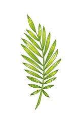 Palm tropical leaf hand drawn sketch. Exotic forest tree icon. Realistic vector illustration isolated on white background. Green color watercolor line handdrawn art for t-shirt print, logo design