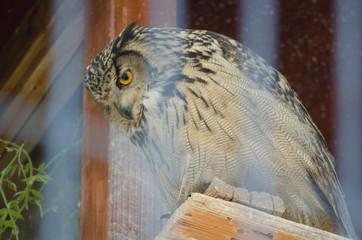 EURASIAN EAGLE OWL BIRD IN ZOO CAGE