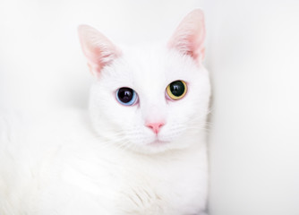 A white domestic shorthair cat with large dilated pupils and heterochromia, one blue eye and one yellow eye