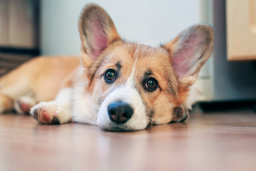 cute little redhead Corgi puppy is lying on the floor and looking dreamy and with sad eyes