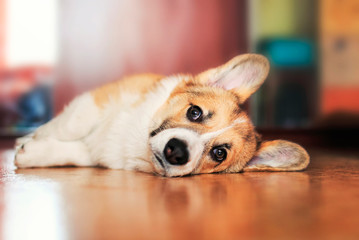 funny portrait of cute little red puppy dog Corgi lying on the floor and looking dreamy and with sad eyes forward