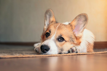 funny portrait of cute little red puppy dog Corgi lying on the floor and looking dreamy up