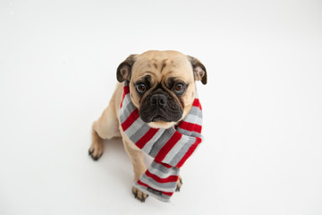 Cute pug dog wearing a red and gray scarf
