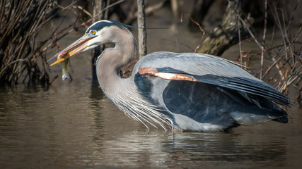Great Blue Heron catching fish while at Huntley Meadows Virginia