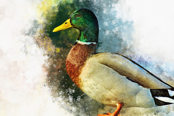 Portrait of a male wild duck, watercolor painting. Bird illustration.
