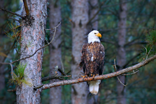 Beautiful bald eagle, Haliaeetus leucocephalus, perched on a Norway Pine tree branch in a Minnesota forest.