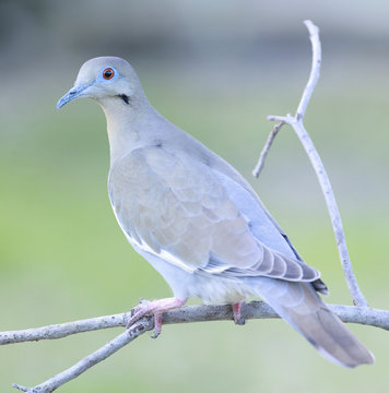 white winged dove backyard home outside feeder