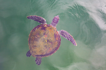 Beautiful sea turtle top view