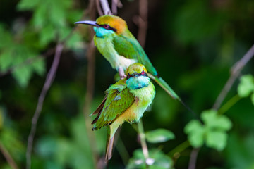 Green bee eater. Yala National Park. Sri Lanka.