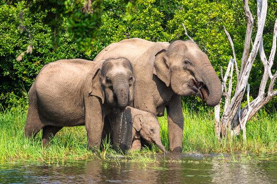 Asian elephant. Yala National Park. Sri Lanka.