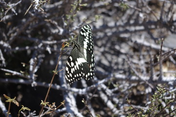 Schmetterling in Namibia