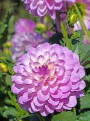 Blühende violette Dahlien, Dalias