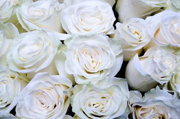 many white roses, white flowers background