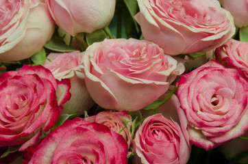 background of pink roses, red rose