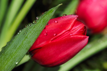 Close-up of red tulip flower in the spring garden