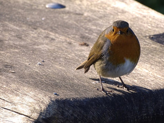 Robin Redbreast Stood on Wooden Park Bench