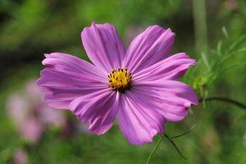 Portrait of pink Mexican aster (garden cosmos) flower in the summer garden