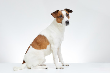 Adorable Jack Russell Terrier sits sideways on the white table with head turned to the side on the white background