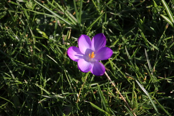Purple and white crocus flowers just came out of the bulb on the end of the winter in 2019 in Bergschenhoek, the Netherlands
