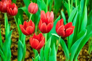 Aluminium Prints Tulip Tulip plants in the indoor garden.