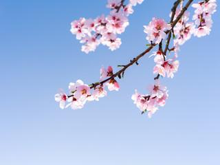 Wall Mural - Japanische Kirschblüten in voller Blüte im Frühling