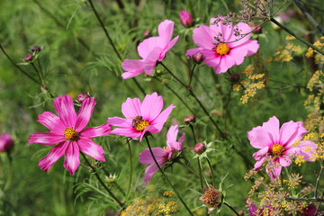 View of pink Mexican aster (garden cosmos) flowers in the summer garden