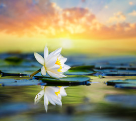 Fotobehang Waterlelies beautiful white water lily on the lake at the sunset