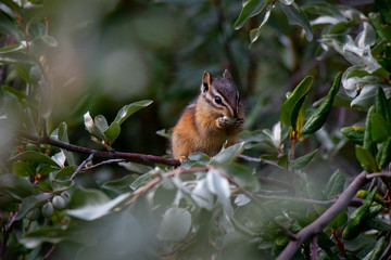 Canadian chipmunk is such a cute animal, Canadian Rockies, Kananaskis Country, Canada, Alberta province