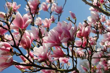 Branch of magnolia tree in the spring garden