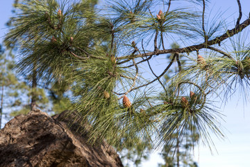 Branches of Canarian pine. Gran Canaria. Spain
