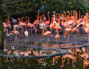Foto auf Leinwand Flamingo large group of american flamingos standing together at the water coast, colorful and tropical birds from the galapagos islands