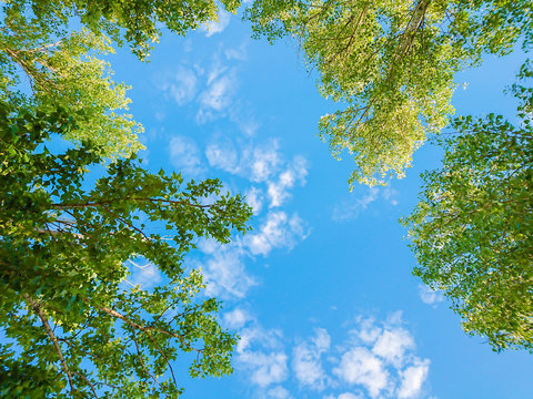 Green foliage of trees against blue sky and clouds. Spring or summer Sunny day.