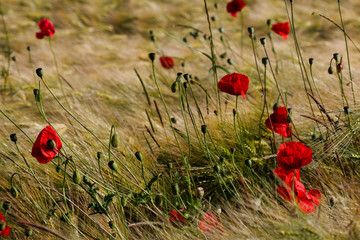 View of golden wheat field with papaver flowers. Late summer countryside landscape