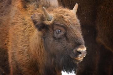 Fototapeta Wild European bison